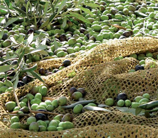 Dall 39 oliva all 39 olio for Raccolta olive periodo